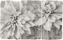 10LACE-DAHLIAS1-2011.jpg